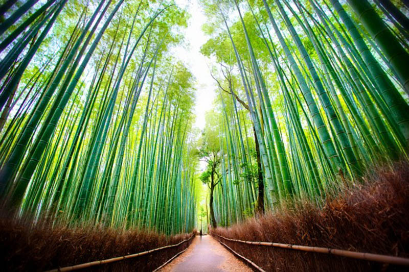 Japan-Kyoto-Bamboo-Forest-in-Sagano