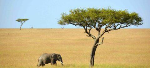 kenya_masai-mara_two_trees_and_an_elephant